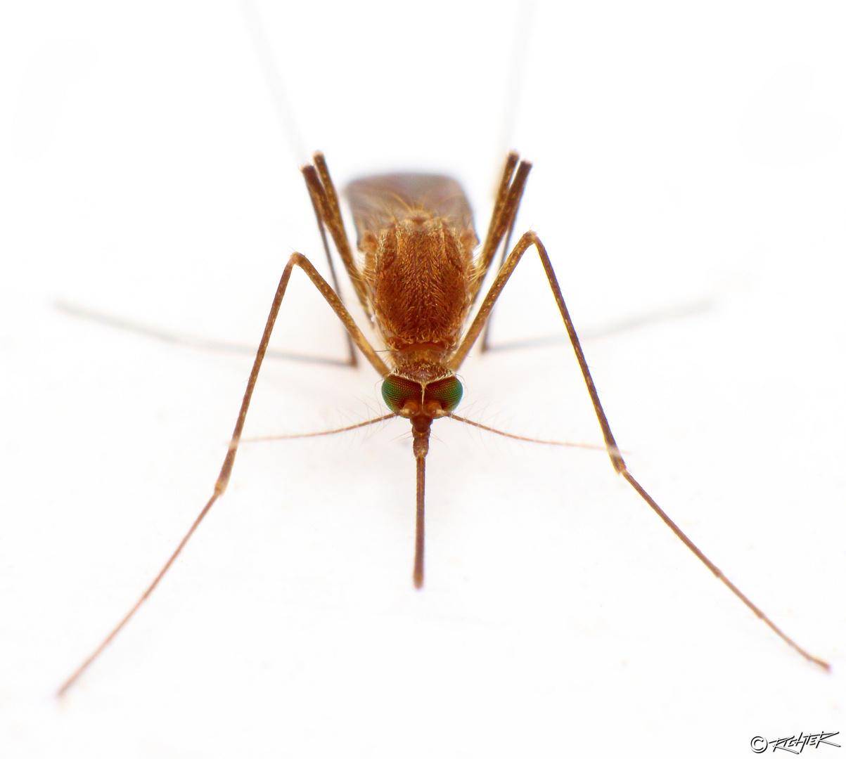 ... Stechmückenporträt ...