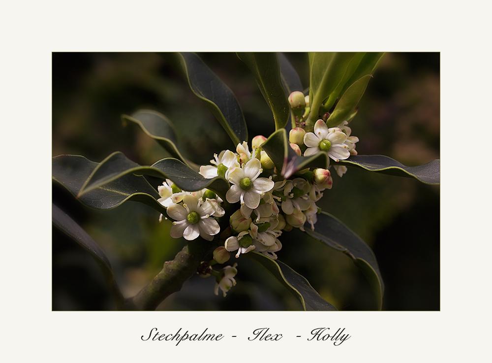 Stechpalme - Ilex - Holly.....