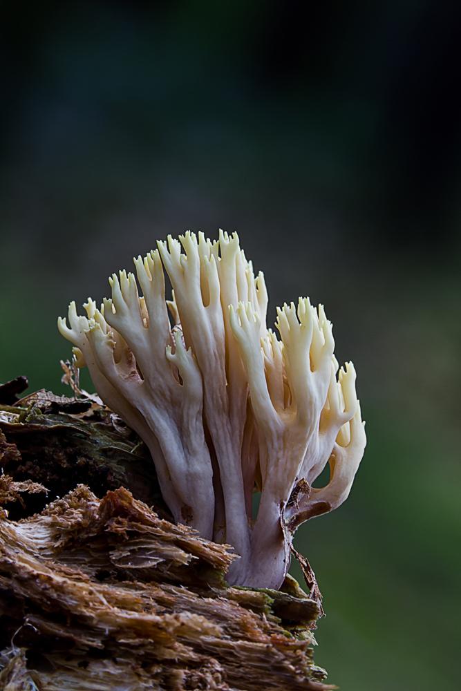 Steife Koralle