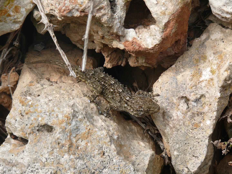 Stein-Gecko?