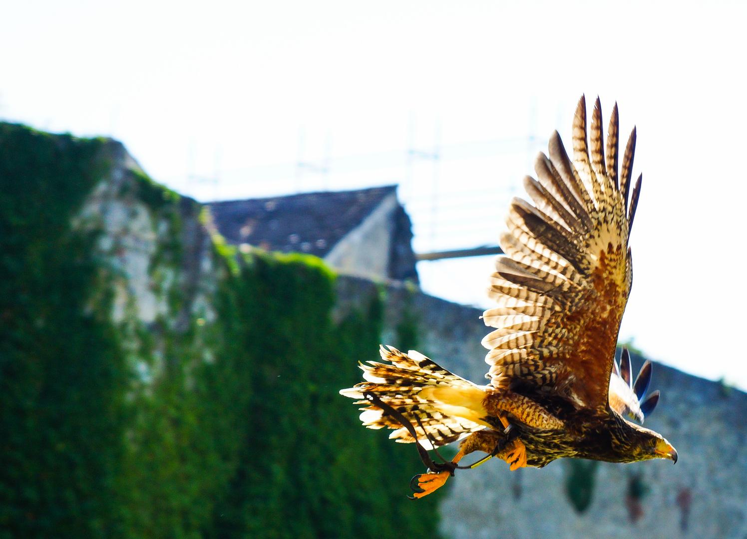 Steinadler im Flug
