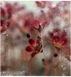 Steinblümchen