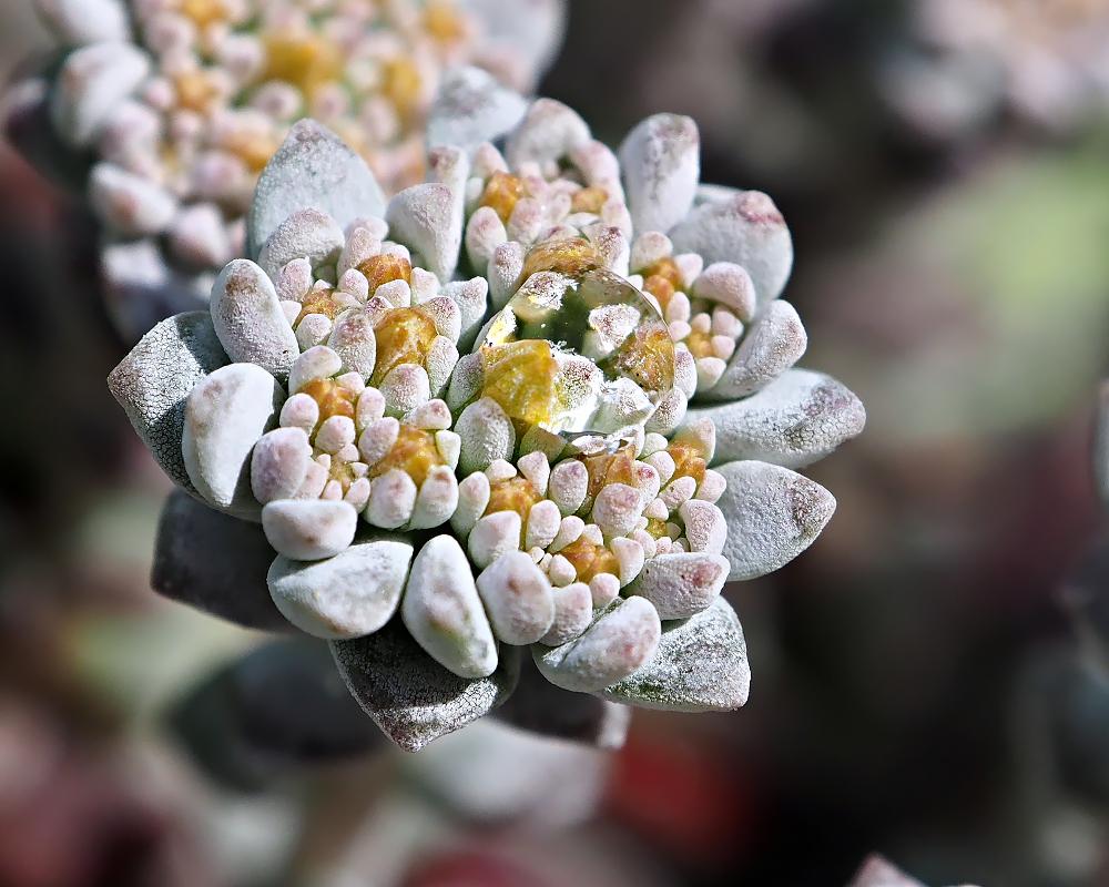 Steinblüte