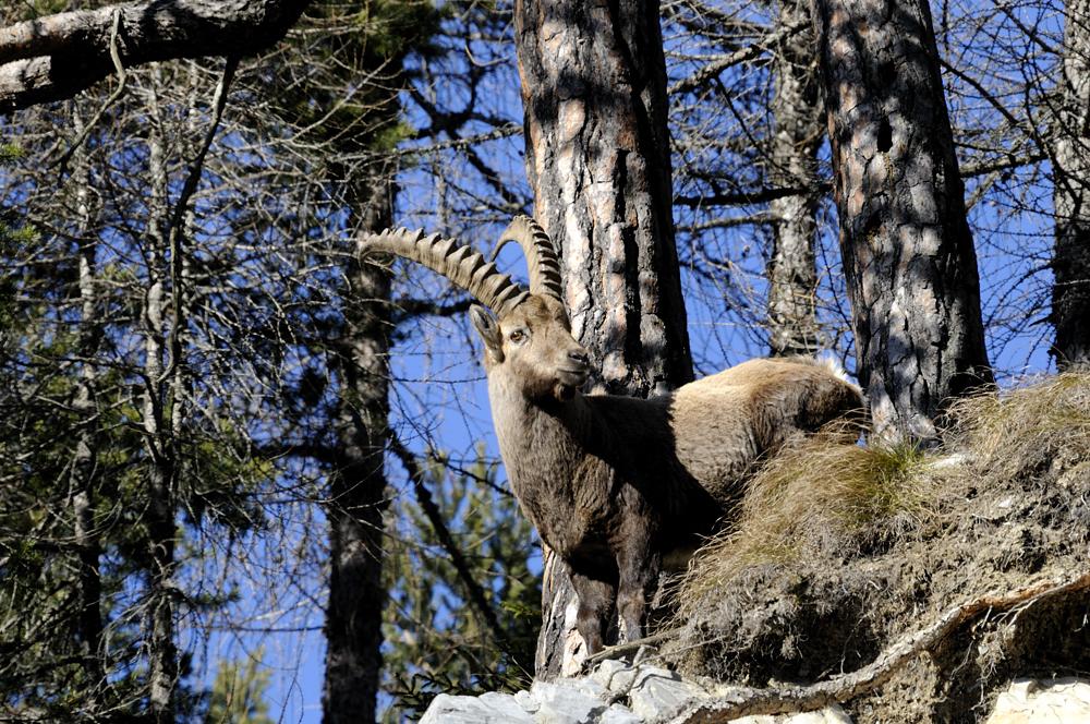 Steinbock (Capra ibex)