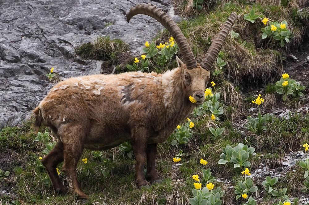 Steinbock (Capra ibex) frisst Flühblümchen (Primula auricula)