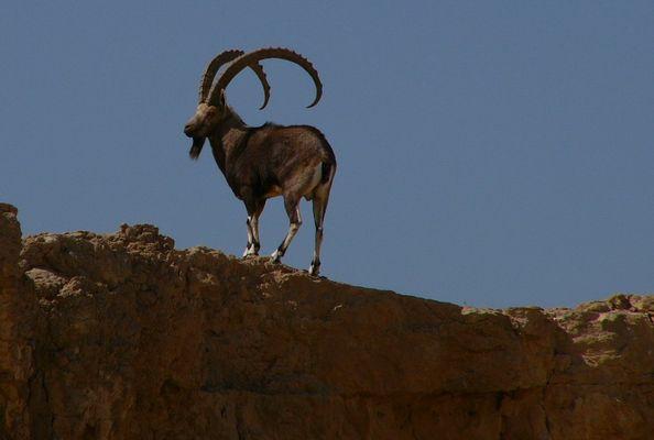 steinbock, wüste negev, israel, 36fach gezoomt, >> der chef <<