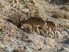 Steinböcke am Masada-Felsen