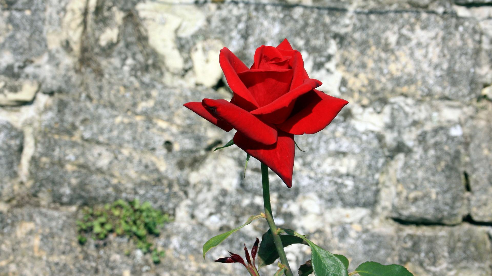Steinerne Rose