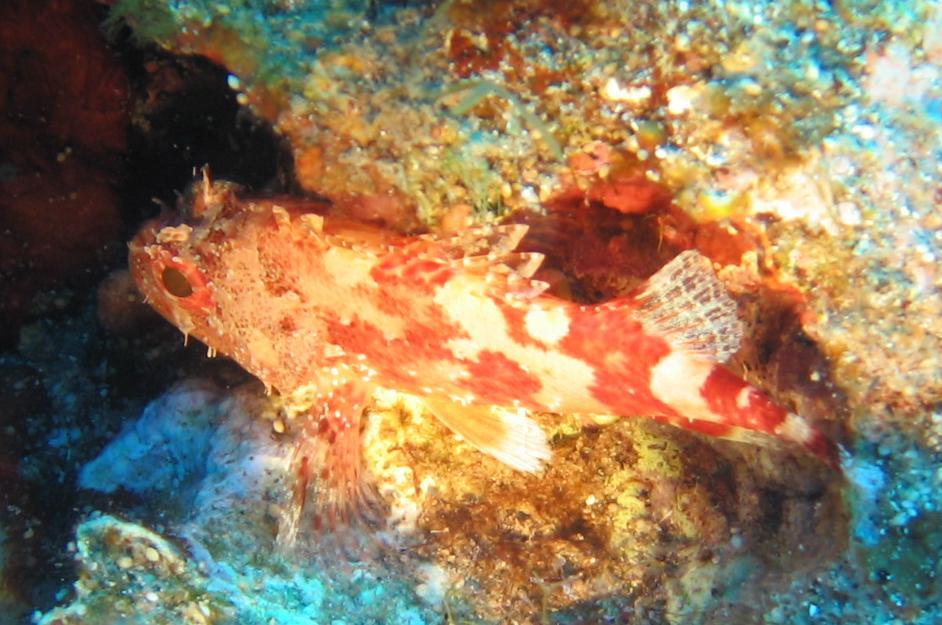 Steinfisch in Kreta