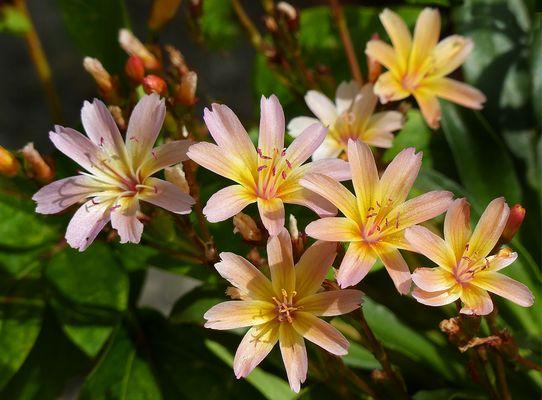 Steingartenblümchen