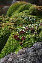 Steingartengewächse im Moos