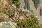 Steingeissen geniessen mit ihrem Nachwuchs die warme Herbstsonne