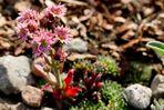 Steingewächs-Blüte