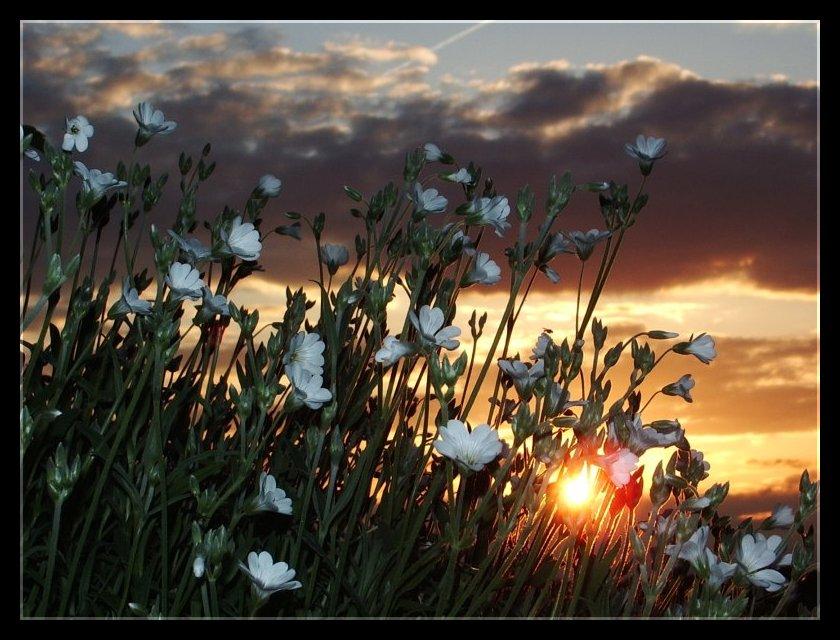 Steinkraut im Sonnenuntergang
