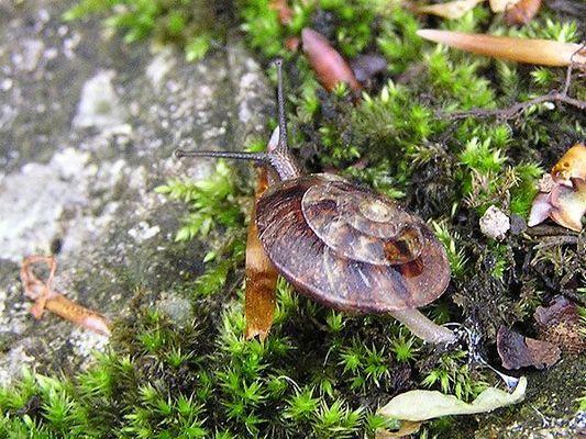Steinpicker (Helicigona lapicida)