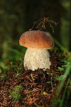 Steinpilz allein im Wald