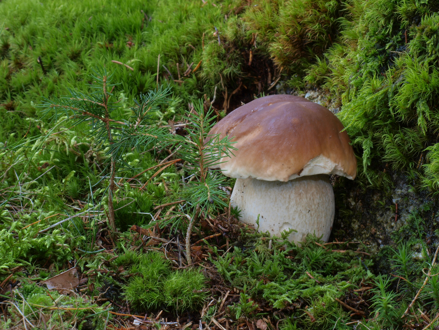 Steinpilz im Fichtenwald