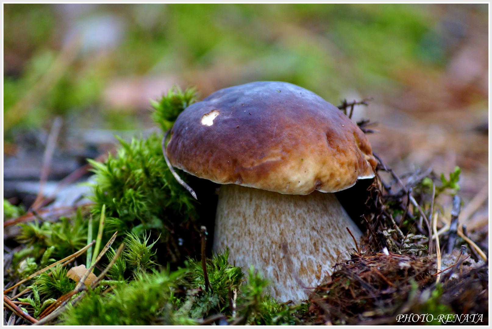 Steinpilze foto bild pflanzen pilze flechten pilze flechten natur bilder auf - Durch wande horen app ...
