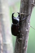 Stem eating beetle