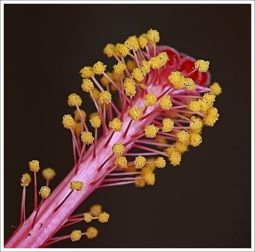 Stempel der Hibiskus-Blüte