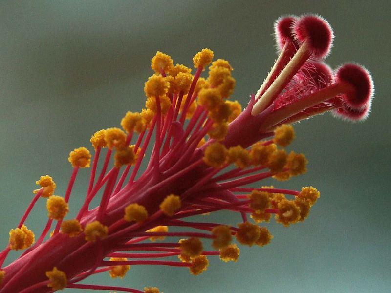 Stempel und Staubbeutel der Hibiskusblüte