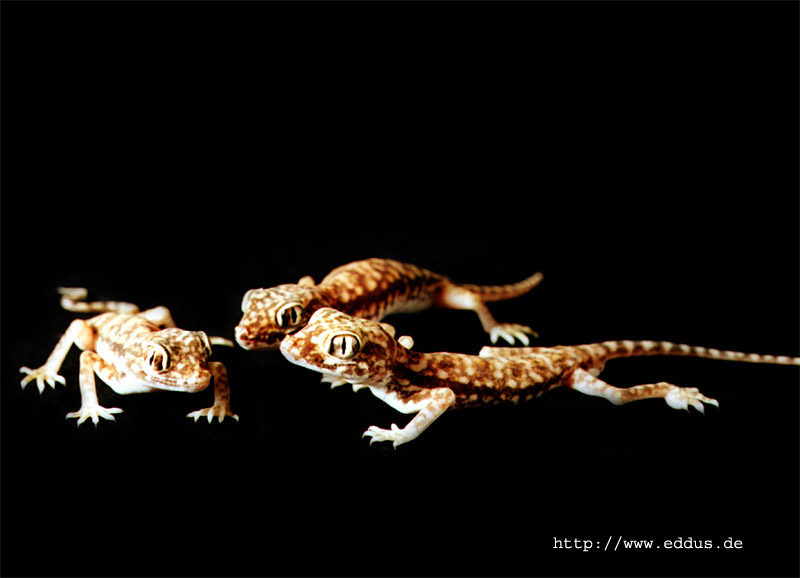 Stenodactylus Doriae (Engfingergeckos)