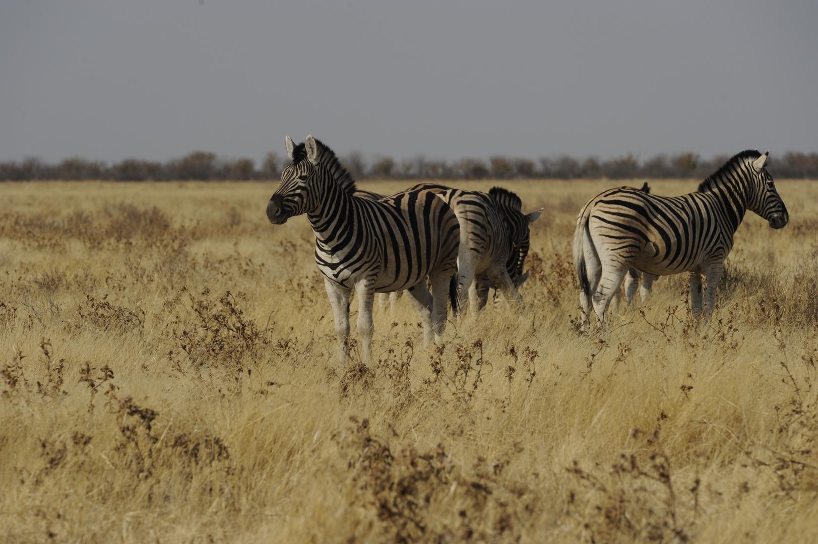 Steppen-Zebras in der Abendsonne