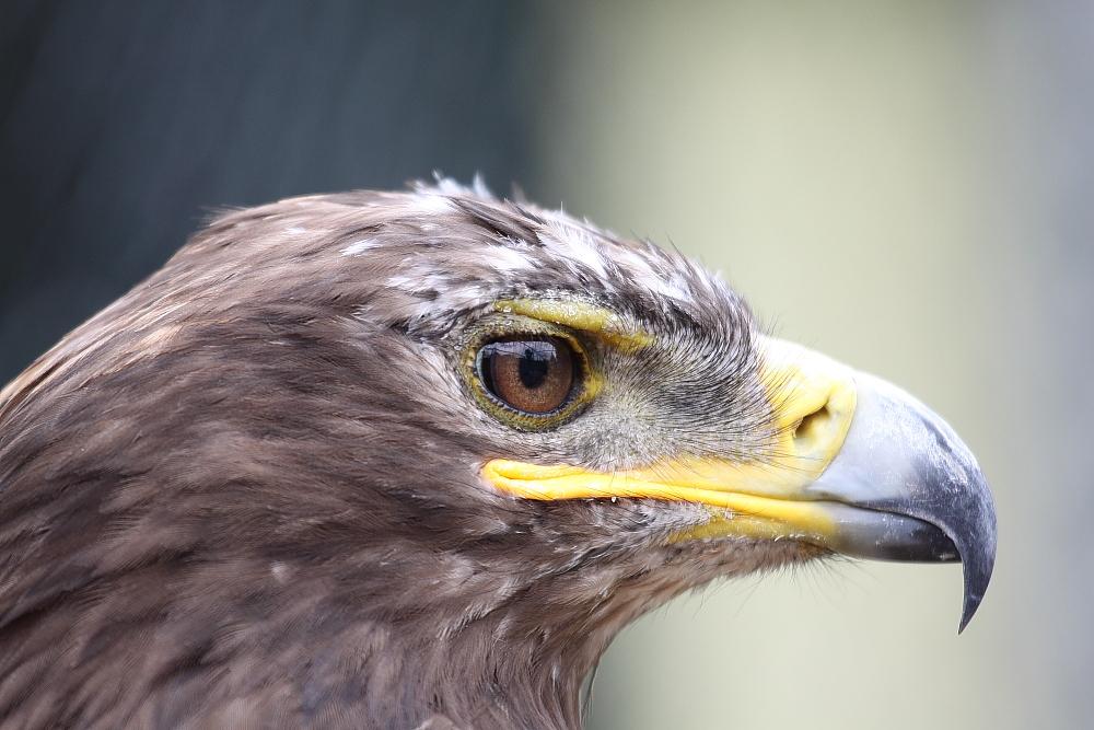 Steppenadler Vogelpark Schotten
