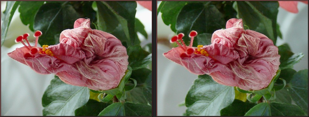 Sterbende Hibiskusblüte