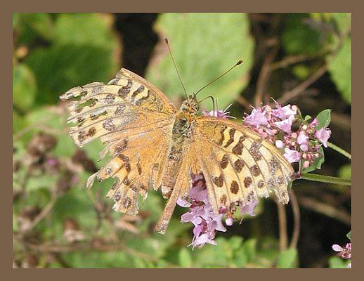 Sterbender Schmetterling