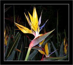 STERLIZIA (Strelitzia reginae)