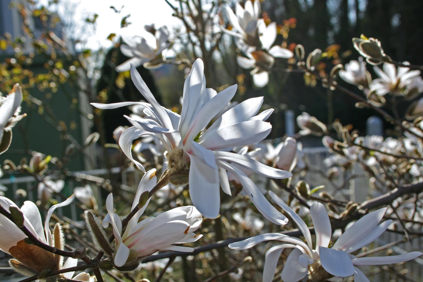 Stern Magnolie 2