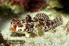 Stern Mandarinfisch