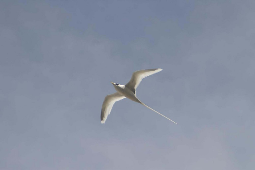 Sterna bianca delle Seychelles