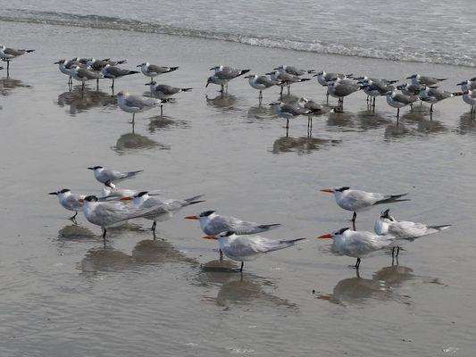 Sterna hierarchy, Florida, USA, 2007