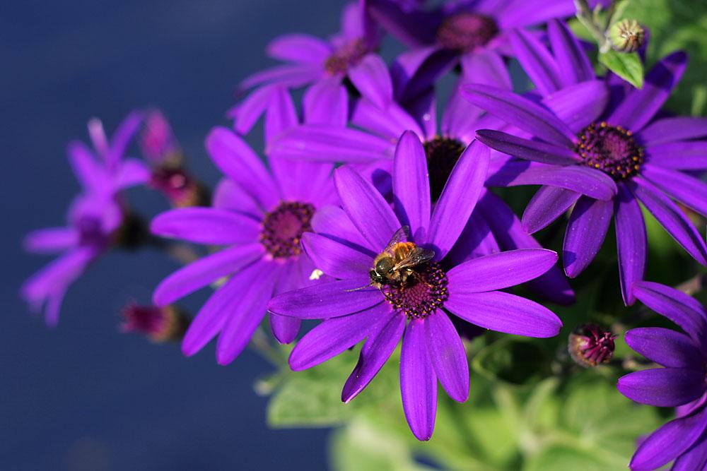 Sternblume