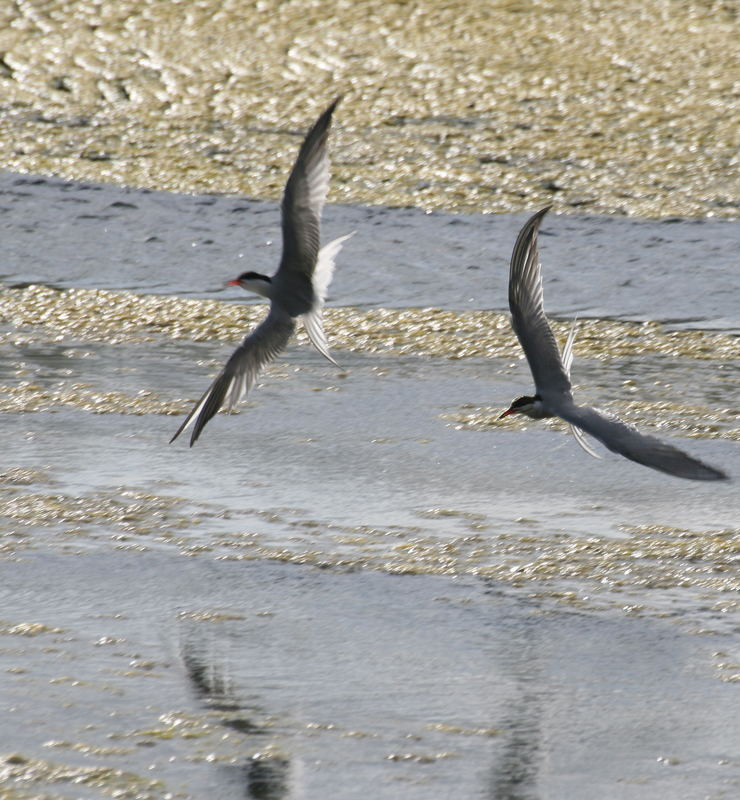 sternes pierregarin (chasse aux petits poissons)