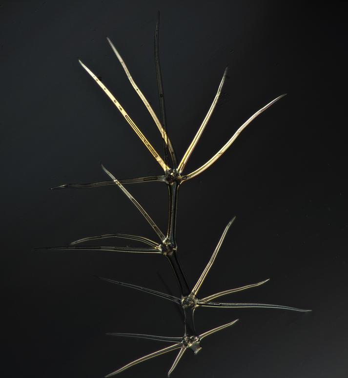 Sternhaar der Königskerze (100x) polarisiert