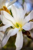 Sternmagnolie (Magnolia stellata) Blüten