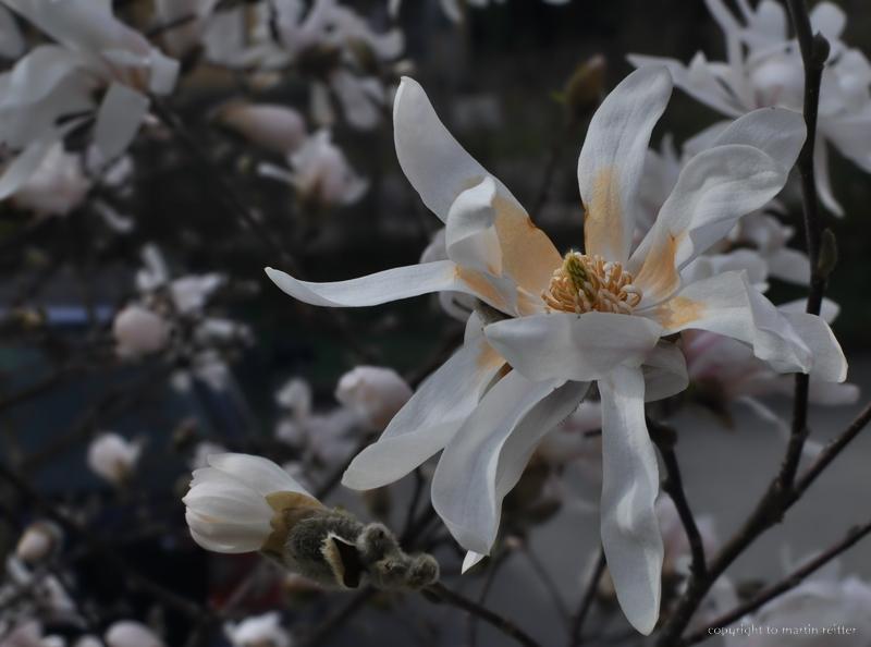 """sternmagnolie | magnolie"""