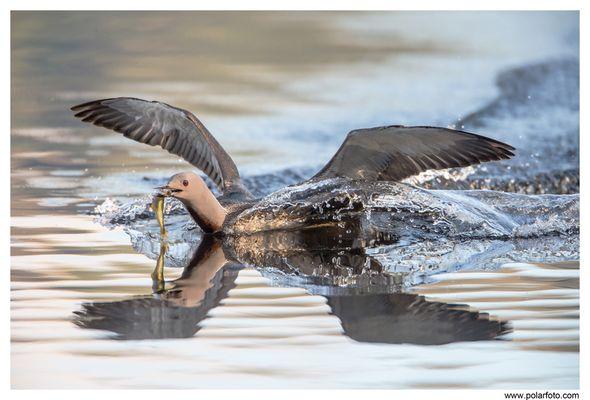 Sterntaucher landet mit Fisch