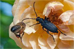 Stictoleptura scutellata et abeille sur fond de rose