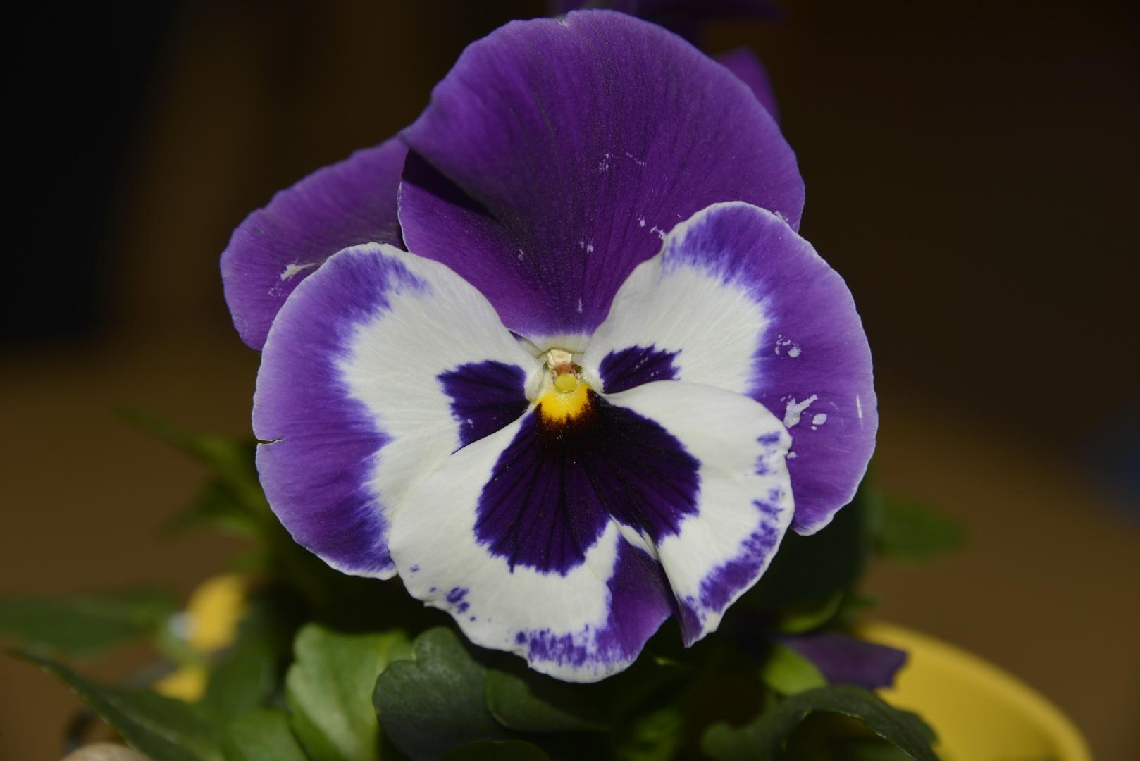 Stiefmütterchen - Blütenkranz