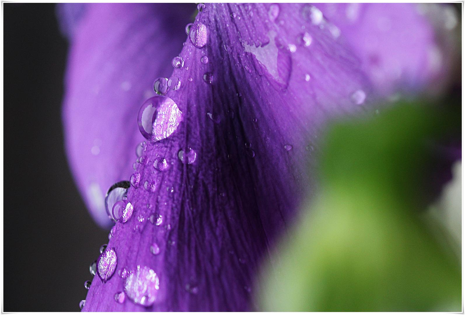 Stiefmütterchen im Regen