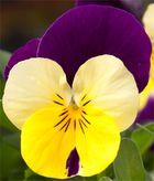 Stiefmütterchenblüte / Viola