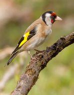 Stieglitz - auch der gefällt mir gut von den Singvögelchen