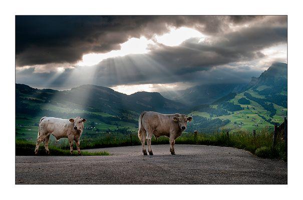 Stier-Leben mit freundlicher Aussicht