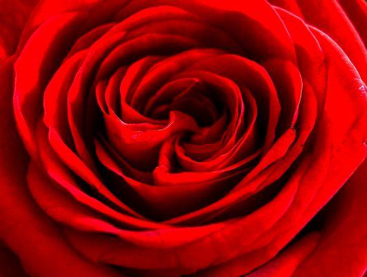 Stimmungsvolles Rot der Rose
