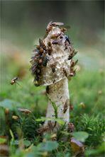Stinkmorchel (Phallus impudicus)