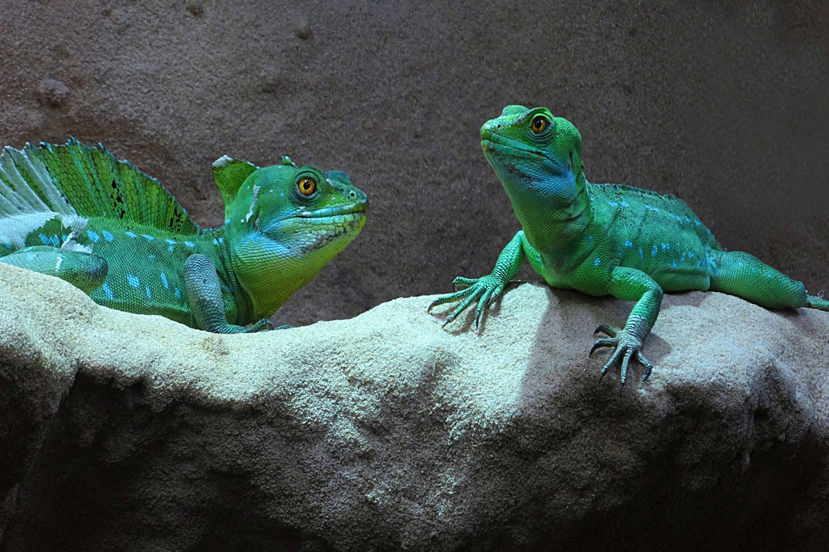 Stirnlappenbasilisk (Männchen und Weibchen) -Zoo Neuwied-